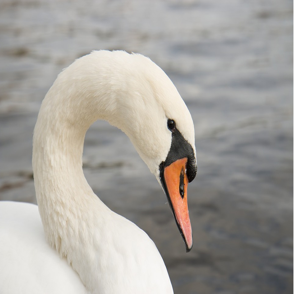 what-type-of-animal-is-a-swan
