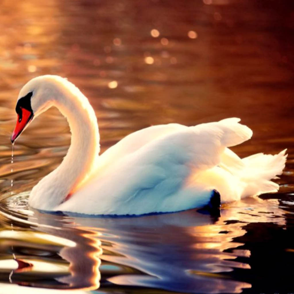 amazing-things-about-swans-you-should-know