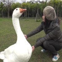 can-you-have-a-swan-as-a-pet
