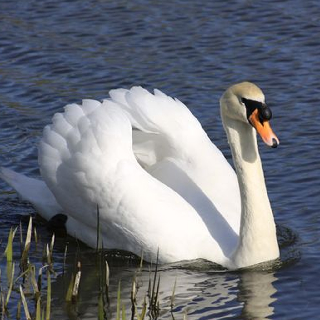 is-swan-a-flightless-bird