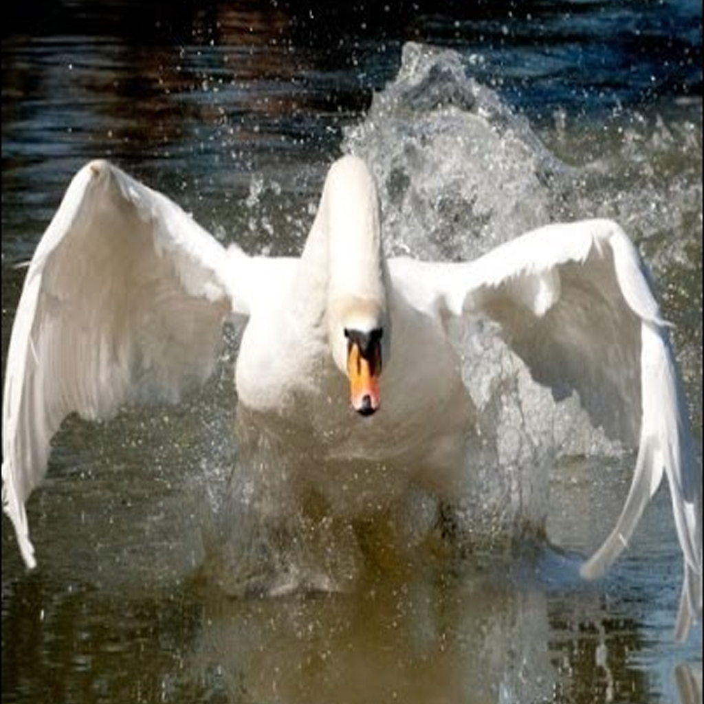 are-swans-aggressive-or-dangerous
